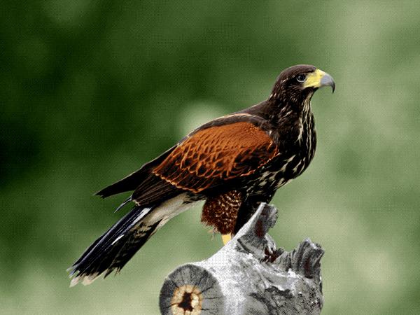 عقاب -کدG65