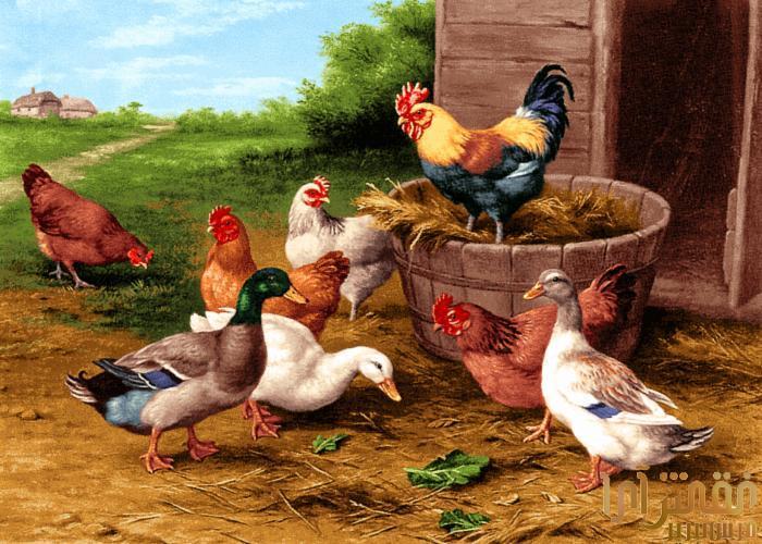 نام طرح : مرغ و خروس ها - 14-G